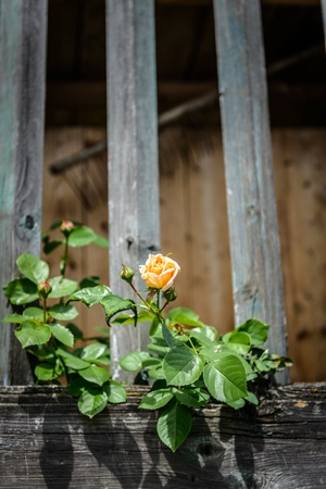 Yellow single rose grows at a wooden fence  photo