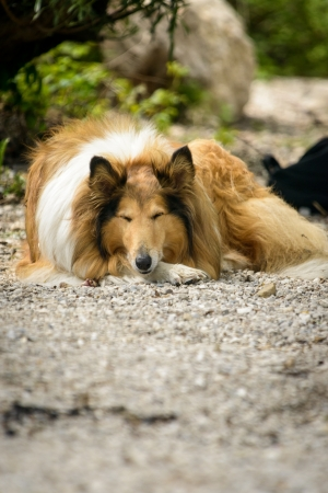 Tired Rough Collie dog resting in nature  photo