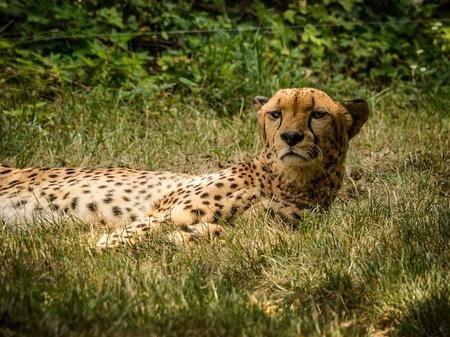 gepard: Cheetah  Acinonyx jubatus  lying on the grass ZOO Schoenbrunn,Vienna,Austria