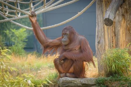 Orang-Utan  Pongo pygmaeus  in Schoenbrunn, Vienna,Austria  Stock Photo - 21561882