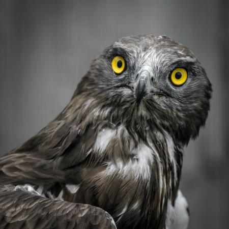 Portrait of bird of prey-Black Kite  Milvus migrans  photo