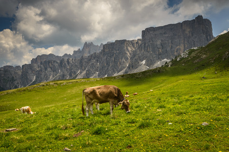 Landcsape with cows on pasture with mountains in background-Passo di Giau,Dolomites,Italy  photo