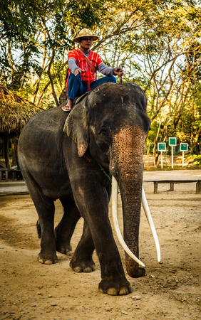 CHIANG MAI, THAILAND - FEB  16  Daily elephant show at The Thai Elephant Conservation Center, mahout shows work with elephant, February 16, 2014 in Chiang Mai, Thailand