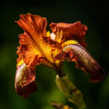 Close up of ocher bearded iris in garden  photo
