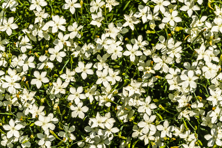unity small flower: Nature background with white tiny cloves flower  and green leaves