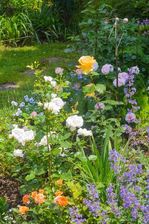 nepeta cataria: Bellissimo giardino fiorito con rose e catnip in primo piano Archivio Fotografico
