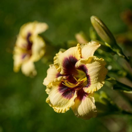 destined: Blossom of beautiful daylily   Piano Man Stock Photo