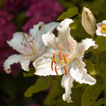 muscadet: Close up of beautiful Oriental Lily  Muscadet