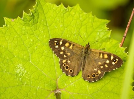 speckled wood: Speckled wood butterfly  Pararge aegeria  perched on a leaf