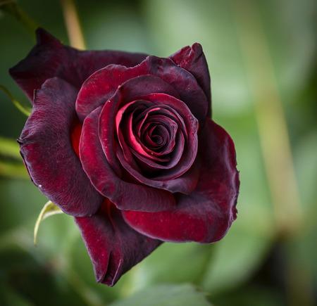 Closeup of dark red rose Black Baccara in garden