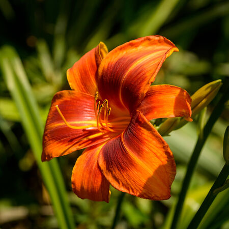 outrageous: A single blossom of the daylily Outrageous. Stock Photo
