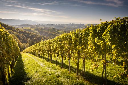 Styrian Tuscany Vineyard at summer  sunset, Austria