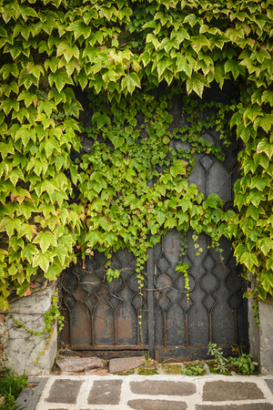 Old , metal gate covered with green ivy. photo