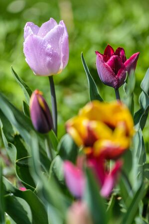 close up image: Close up image of colorful tulips in spring garden.
