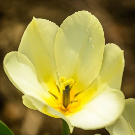 close up image: Close up image of yellow tulip in spring garden.