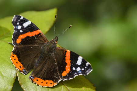 admiral: Red Admiral Butterfly, Vanessa atalanta, resting on a leaf .Copy space. Stock Photo