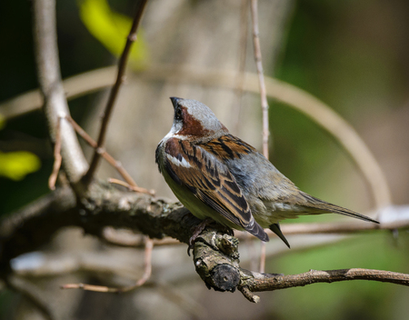 passer by: Close up of House Sparrow (Passer domesticus) on a twig. Stock Photo