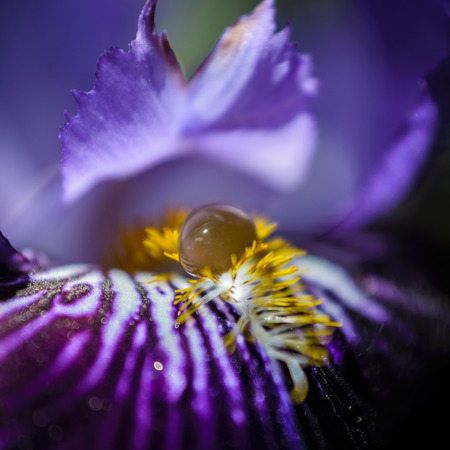 bearded iris: Violet bearded iris flower with water droplet macro shot. Stock Photo