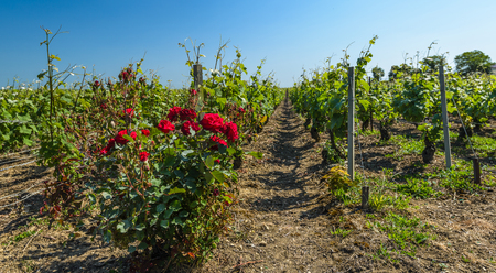 champagne region: View on summer vineyards with busch of roses in foreground. Champagne Region,France.