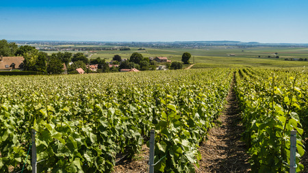 champagne region: View on summer vineyards in Champagne Region,France. Stock Photo