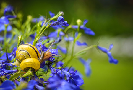 lobelia: Close up of snail on blue lobelia flower in garden Stock Photo