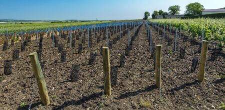 champagne region: Young plants of vine in a french vineyard,Champagne region. Stock Photo