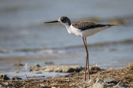himantopus: Black-winged stilt, common stilt, or pied stilt Himantopus himantopus Stock Photo