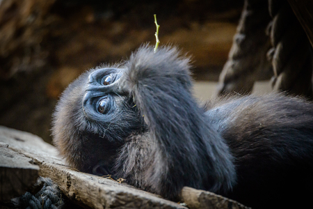 attraktion: Portrait of cute ,young lying and relaxing chimpanzee. Stock Photo