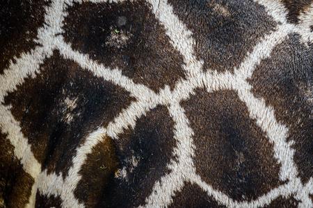 jirafa fondo blanco: Textura detallada de la verdadera piel jirafa