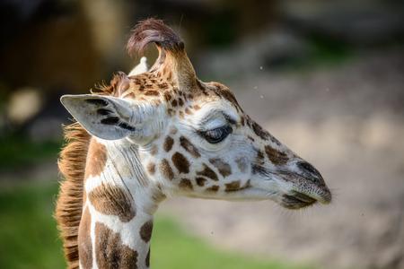 animal head giraffe: Portrait of cute, young giraffe in zoo.