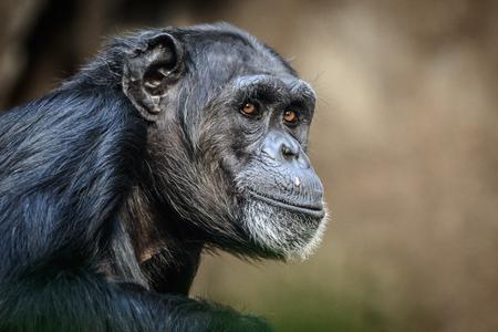 Portret van zitten en ontspannen chimpansee.