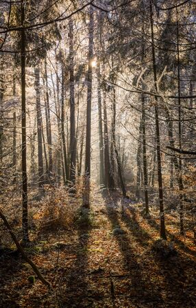 sun lit: Sun lit clearing in a rime covered spruce forest Stock Photo