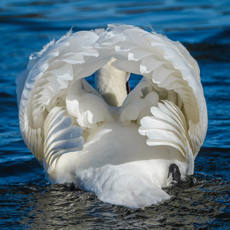 cygnus olor: White mute swan from the back side. Cygnus olor An adult in threat posture on a tranquil water