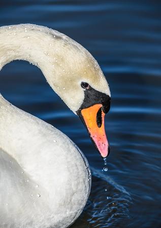 olor: Mute swan Cygnus olor against blue water