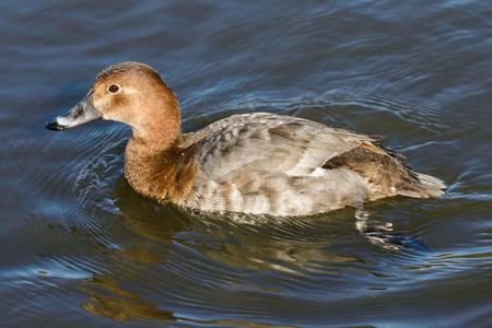 aythya ferina: Duck on the river .Female of Common Pochard (Aythya ferina). Stock Photo