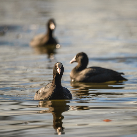 coot: Eurasian Coot, Coot, Fulica atra in water