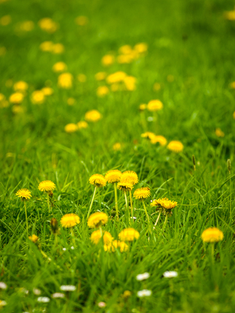 diuretic: Nature background with green meadow and common flowering dandelions.