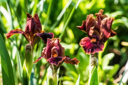 bearded iris: Closeup of brown Standard Dwarf Bearded iris Death by Chocolate in garden. Stock Photo