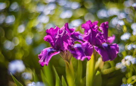 bourgeois: Close look at the cluster of beautiful dwarf bearded irises Bourgeois