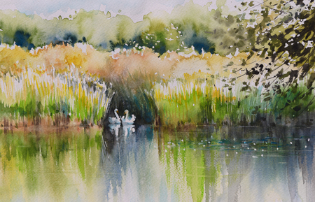 swans: Watercolors painting of summer pond with two swans.