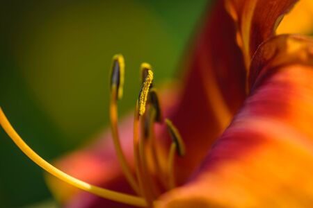 outrageous: Closeup of orange daylily flower garden in Outrageous. Stock Photo