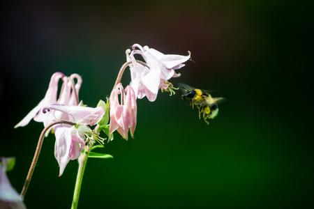 Bumblebee flying to pink columbine flower. Stock Photo