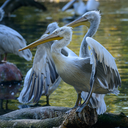 White Pelican (Pelecanus onocrotalus), also known as the Eastern White Pelican, Rosy Pelican or White Pelican is a bird in the pelican family