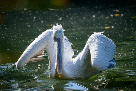white washed: White Pelican (Pelecanus onocrotalus), also known as the Eastern White Pelican, Rosy Pelican or White Pelican is a bird in the pelican family