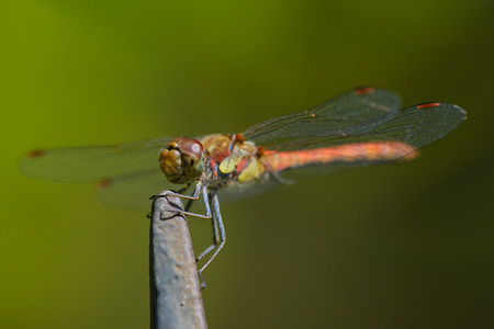 Close up of red dragonfly against green background. Stock Photo
