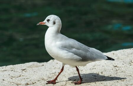 A single adult Black headed gull walking close to the water