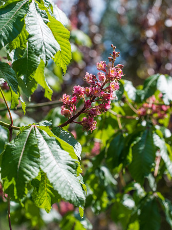 Inflorescence with flowers of red horse-chestnut (Aesculus carnea) Stock Photo