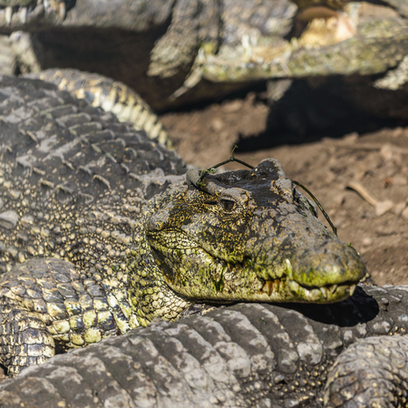 Close up photo of resting group of aligators.
