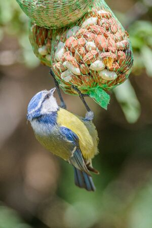 Blue tit hang on the feeder and eat the seed.