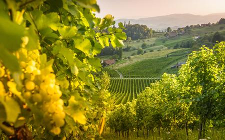 steiermark: Styrian Tuscany Vineyard at summer sunset, Austria